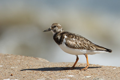 Ruddy Turnstone on the Seawall