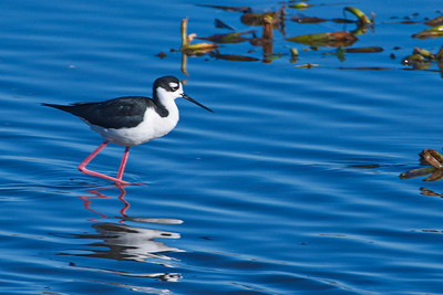 Black-necked_Stilts