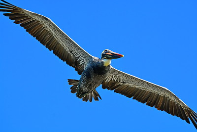 Brown_Pelican_Flying_D71_6646
