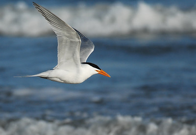 Royal Tern  Quintana Neotropical Bird Sanctuary