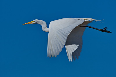 Great_Egret_D50_2122