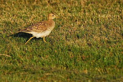 Quintana Neotropical Bird Sanctuary Upland Sandpiper