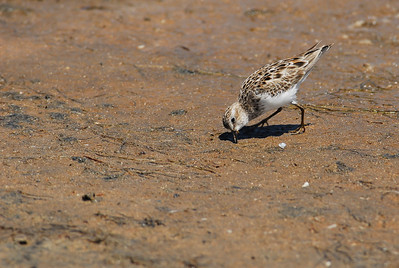 Western Sandpiper  Quintana Neotropical Bird Sanctuary