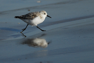 Quintana Neotropical Bird Sanctuary Sanderling