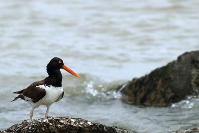American Oystercatcher on the Texas City Dyke