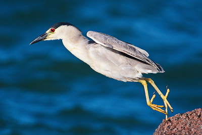 Leaping to Another Rock:  Blk-crowned Night Heron