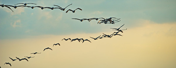 Brown Pelicans in Formation Over TX City Dike