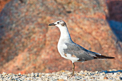 Laughing Gull 2nd Winter