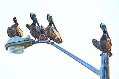 Brown Pelicans on a Pole