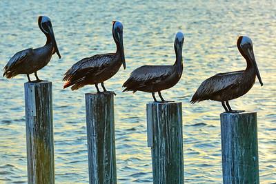 4 Brown Pelicans on Poles
