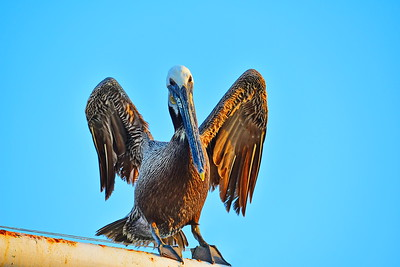 Brown Pelican Drying Out