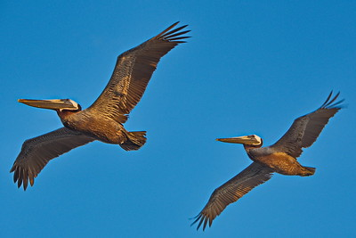 Formation Flying:  Brown Pelicans