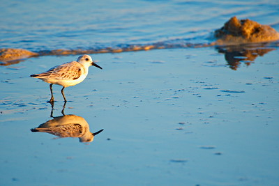 09292017_Texas_City_Dike_Sanderling_500_2303