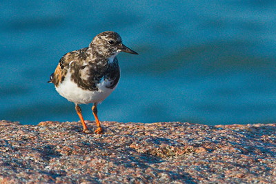 09292017_Texas_City_Dike_Ruddy_turnstone_500_2285