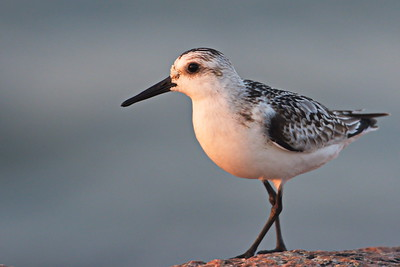 09292017_Texas_City_Dike_Sanderling_500_2262
