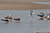 Gull landing amongst one of the social colonies of Black Skimmers sharing a pool with the gulls and a few shore birds.
