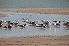 One of the social colonies of Black Skimmers sharing a pool with the gulls and a few shore birds.