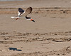 Flying Black Skimmer