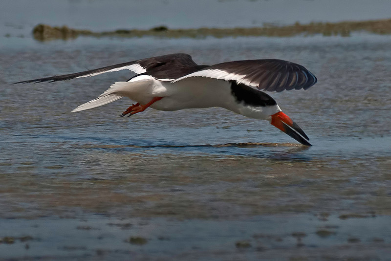 This Black Skimmer is a member of the nesting colony, but was shot on June 29, 2011 at the same beach location.
