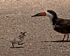 Black Skimmer getting a chick back from hiding in a remote region of the roped off nesting area after alarm was over.