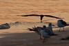 (7:04 AM)  Black Skimmer skimming at the edge of the bay backlit.