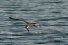 (7:19 AM)  Black Skimmer skimming in bay just after sunrise.
