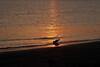 (6:58 AM)  Backlit terns at sunrise on the shoreline, Texas City Dike beach.