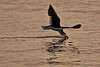 (7:03 AM)  Black Skimmer skimming at the edge of the bay backlit.