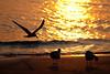 (7:02 AM)  Black Skimmer flying along beach shoreline at sunrise.