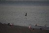 (7:02 AM)  Black Skimmer off in Flight onto bay just at sunrise.  Background away from direction of rising sun.