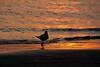 (6:57 AM)   Gull on sunlit beach at sunrise.