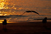 (7:03 AM)  Black Skimmer on beach at sunrise.