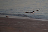 (7:05 AM)  Black Skimmer skimming along beach shore just after sunrise.