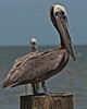 Brown Pelican, perched.  Still has some of the last traces of his making colors on his beak.
