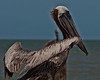 Brown Pelican perched.