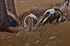 What happens when two Brown Pelicans tie going for the same sushi selection.
