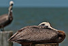 Brown Pelican perched with one eye on the next handout.