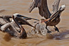 Two Brown Pelicans fight over lunch.