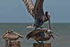 Two Brown Pelicans fight for position on piling next to fish cleaning station.