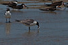 Principle is a gull with a fish brought to the little tidal pool to eat with other gulls and Black Skimmers.  Laughing Gull (Larus atricilla)