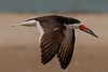 Black Skimmer in Flight.  13.4% crop of the full frame(used my first full-frame camera).  Had 500mm Tamron zoom pulled back to 420mm to force a focus at F5.6 instead of the usual F6.3 at 500mm.  ISO320, F10, 1/1200 sec.  Shot raw.