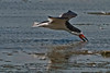 Black Skimmer skimming into the wind which had the light top-3/4 left.