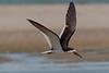 Black Skimmer in flight along the beach at Texas City Dike.