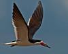 Adult Black Skimmer in flight.