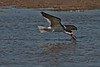 Black Skimmer skimming in water pools along the beach near the picnic areas toward the end of the Texas City Dike.
