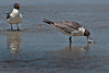 Two Laughing Gulls, one with a fish.