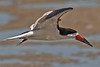 Black Skimmers are unique in that when in extreme light their iris contracts causing the pupil to become a vertical slit, not a round one.