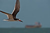 Black Skimmer in Flight over the beach on the Texas City Dike with tanker heading out into the Gulf in the distance.