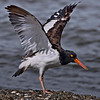 Oystercatcher. p912b  Afternoon.  Partly cloudy.