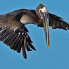 Brown Pelican about to dive.  8% crop of the full frame.